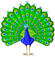 Peacock with colorful feather vector image vector image