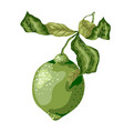 Lime fruit of round shape with leaves on the