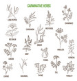 carminative herbs hand drawn set vector image vector image