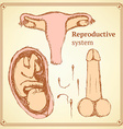 Sketch reproductive system in vintage style vector image