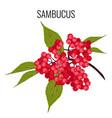 sambucus ayurvedic medicinal herb elder or vector image vector image