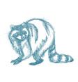 raccoon sketch hand drawing of wildlife vintage vector image vector image