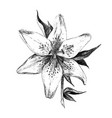lily flower closeup isolated on white background vector image vector image