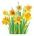 bouquet of yellow daffodils on vector image vector image