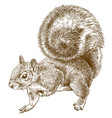 engraving eastern gray squirrel vector image
