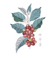 hand drawn coffee branch vector image vector image