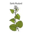 garlic mustard alliaria petiolata medicinal vector image