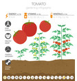 tomato beneficial features graphic template vector image