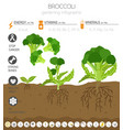 broccoli cabbage beneficial features graphic vector image vector image