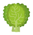 lettuce fresh isolated icon vector image