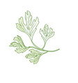 silhouette coriander herb to natural condiment of vector image vector image