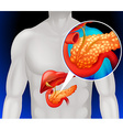 Zoom out human pancreas vector image