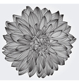 Ink drawing of black dahlia flower vector image