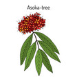 ashoka tree saraca asoca medicinal plant
