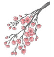 branch of cherry blossoms vector image vector image