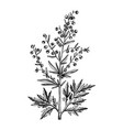 hand sketched wormwood botanical drawing