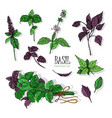 set of basil plant green and purple colorful vector image vector image