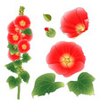 alcea rosea - hollyhocks aoi in the mallow family vector image vector image
