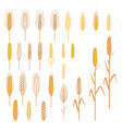 ears of cereals plants set vector image vector image