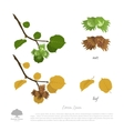 Filbert branch in summer and autumn vector image vector image