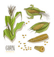 set of corn plant colorful hand drawn collection vector image vector image