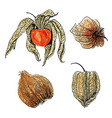 watercolor physalis fruit set isolated on white vector image