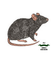 hand drawn mouse or rat animal colored sketch on vector image vector image