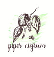 piper nigrum sketch on watercolor paint hand vector image