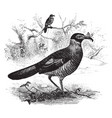 two radiated ground cuckoo one with an insect in vector image vector image