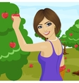 woman picking red apples from tree in orchard vector image vector image