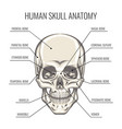 human skull anatomy vector image vector image
