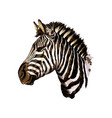 zebra head portrait from a splash watercolor vector image vector image