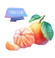 Tangerine hand drawn watercolor on a white vector image vector image