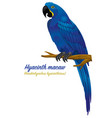 hyacinth macaw parrot bird vector image vector image