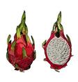 Dragon fruit or pitahaya vector image