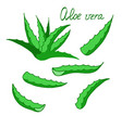 aloe vera isolated on white background for vector image