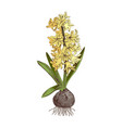 hand drawn hyacinth spring bulbous flower vector image vector image