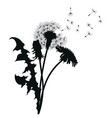silhouette of a dandelion with flying seeds black vector image vector image