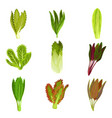 collection fresh salad leaves radicchio vector image