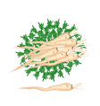 Fresh Pile of Parsley Root on White Background vector image vector image