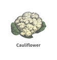Hand-drawn ripe head of cauliflower vector image
