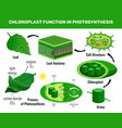 chloroplast photosynthesis infographic elements vector image