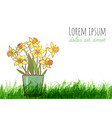 bouquet of yellow daffodiles and green grass vector image vector image